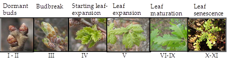 Phenological stages of {Q. pubescens} at OHP